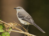 Northern Mockingbird, Mimus Gundlachii, . USA Photographic Print by John Cornell