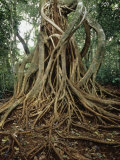 Strangler Fig (Ficus) Growing on its Host Tree in a Tropical Rainforest, Costa Rica. Photographic Print by Henry Lehn