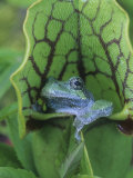 Gray Treefrog, Hyla Versicolor, Sitting in a Pitcher Plant, Sarracenia, Eastern USA Photographic Print by Gary Meszaros