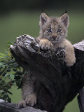 Canadian Lynx Kitten, Lynx Canadensis, North America Photographic Print by Joe McDonald