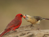 Northern Cardinals, Cardinalis Cardinalis, Food Exchange During the Breeding Season. Eastern USA Photographie par John Cornell