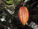 Ripe Cacao Fruit or Pod. Cultivated United Fruit 667, One of Cultivated Clones at Catie Research Photographic Print by George Loun