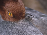 Close-Up of a Male Redhead Duck Head Resting, Aythya Americana, North America Photographic Print by Arthur Morris