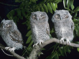 Two Young Eastern Screech Owls, Otus Asio, on a Branch Photographic Print by Joe McDonald
