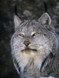 Canada Lynx Face, Lynx Canadensis, North America Photographic Print by Cheryl Ertelt