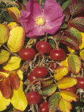 Rose Flower, Rose Hips, and Fall Leaves, Rosa Rugosa, North America Photographic Print by David Cavagnaro