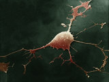 Human Neuron, Showing the Dendrites and the Axon Photographic Print by David Phillips