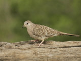 Inca Dove, Colombina Inca, Texas, USA Photographic Print by John Cornell