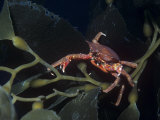 Northern Kelp Crab, Pugettia Producta, on Kelp, North America Photographic Print by Daniel Gotshall