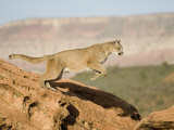 A Puma, Cougar or Mountain Lion, Running and Jumping, Felis Concolor, North America Photographic Print by Joe McDonald