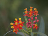 Mexican Milkweed Flowers, Asclepias Curassavica, Southwestern North America Photographic Print by Arthur Morris