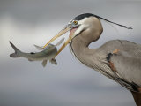 Great Blue Heron with Catfish., Ardea Herodias Photographic Print by Arthur Morris