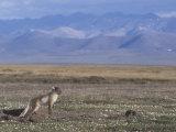 Arctic Fox at its Den on the Summer Arctic Tundra (Alopex Lagopus), Alaska, USA Photographic Print by Tom Walker