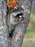 Raccoon (Procyon Lotor) in its Den in a Hollow Maple Tree (Acer), North America Photographie par Tom Walker