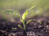 Corn Seedling, Zea Mays Photographic Print by David Cavagnaro