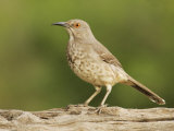 Curve-Billed Thrasher, Toxostoma Curvirostre, Texas, USA Photographic Print by John Cornell