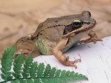 Wood Frog, Rana Sylvatica, . Eastern USA Fotografie-Druck von Gustav W. Verderber