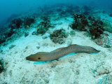 Giant Moray (Gymnothorax Javanicus) Pacific Ocean, Borneo Photographic Print by Reinhard Dirscherl
