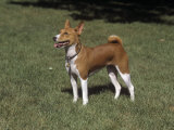 Basenji Variety of Domestic Dog Photographic Print by Cheryl Ertelt