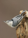 White-Breasted Nuthatch Photographic Print by John Cornell