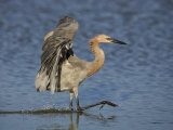 Reddish Egret Fishing with its Wings Outstretched, Egretta Rufescens, Southern USA Photographic Print by John Cornell