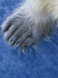 Polar Bear Hairy Foot, Ursus Maritimus, North America Photographic Print by Gerald & Buff Corsi