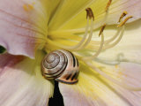 Brown-Lipped Banded Snail (Cepaea Nemoralis) on a Day Lily Photographic Print by Nigel Cattlin