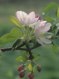 Crabapple Blossoms and Flower Buds, Malus Photographic Print by Adam Jones