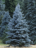 Colorado Blue Spruce (Picea Pungens), Colorado State Tree, USA Photographic Print by Ned Therrien