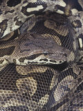 Dumeril&#39;s or Madagascar Ground Boa (Acrantophis Dumerili), an Endangered Species. Madagascar Photographic Print by Ken Lucas