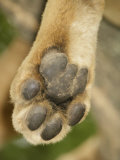 Close-Up of an African Lion's Paw, Panthera Leo, East Africa Photographic Print by Arthur Morris