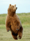 Brown Bear (Ursus Arctos) Photographic Print by Tom Walker