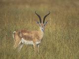 Buck Grant's Gazella, Gazella Granti, Kenya, Africa Fotoprint av John & Barbara Gerlach