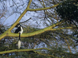 Black and White Colobus Monkey, Colobus Angolensis, Nakuru National Park, Kenya, Africa Photographic Print by Joe & Mary Ann McDonald