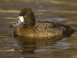 Lesser Scaup (Aythya Affinis) Female Photographic Print by Jack Michanowski