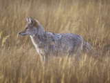 Coyote Hunting in a Grassland, Canis Latrans, North America Photographic Print by Gerald & Buff Corsi