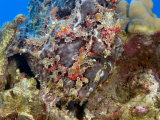 Commerson's Frogfish Highly Camouflaged on a Coral Reef (Antennarius Commersoni), Hawaii, USA Photographic Print by David Fleetham