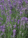 Lavender Herbs in Bloom (Lavandula Angustifolia) Fotografie-Druck von Bill Beatty