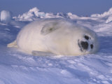 Harp Seal Pup Protectively Colored on Snow (Phoca Groenlandica), Arctic Canada, Atlantic Ocean Photographic Print by Tom Walker