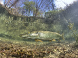 Northern Pike (Esox Lucius), Echinger Weiher Lake, Germany Photographic Print by Reinhard Dirscherl