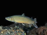 Bull Trout (Salvelinus Confluentus), a Threatened Species in Western United States Photographic Print by Richard Herrmann
