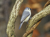 Tufted Titmouse (Baeolophus Bicolor), Eastern North America Photographic Print by Steve Maslowski