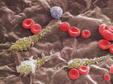Red and White Blood Cells in a Portal Vein Photographic Print by Richard Kessel