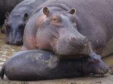 Hippopotamus  Hippopotamus Amphibius  Adult with its Young or Calf  Masai Mara  Kenya  Africa