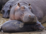 Hippopotamus, Hippopotamus Amphibius, Adult with its Young or Calf, Masai Mara, Kenya, Africa Photographic Print by Joe McDonald