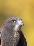Swainson's Hawk Head (Buteo Swainsoni), North America Photographic Print by Tom Walker