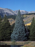 Colorado Blue Spruce (Picea Pungens), Colorado State Tree, Rocky Mountains, Colorado, Usa. Fotografisk tryk af Robert & Jean Pollock