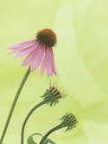 Progressive Opening of Echinacea Flowers Photographic Print by Wally Eberhart