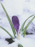Crocus Flowering in the Snow (Crocus Vernus) Photographic Print by Wally Eberhart