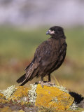 Striated Caracara (Phalcoboenus Australis), Falkland Islands Photographic Print by Hugh Rose